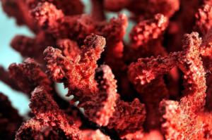 Камень коралл фото свойства и значение